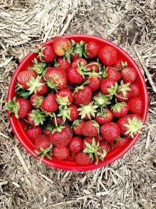 4 quarts of fresh-picked strawberries